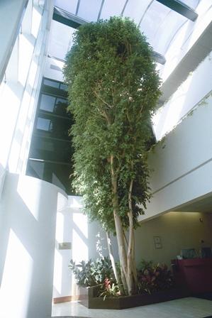 Interior Plants Atrium Plants Ficus Trees In New Jersey