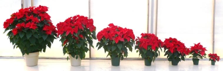 Poinsettias And Poinsettia Trees In Nj